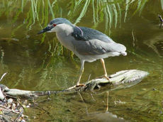 230px-Nycticorax_nycticorax_000.jpg
